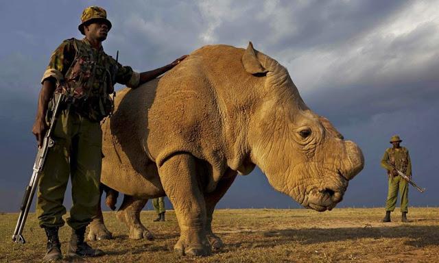 Sudan, ultimul rinocer alb!